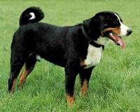 Leuke cadeau-artikelen van de Appenzeller Sennenhond vindt u bij BS Sennenhonden