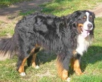 Leuke cadeau-artikelen van de Berner Sennenhond vindt u bij BS Sennenhonden