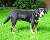Leuke cadeau-artikelen van de Entlebucher Sennenhond vindt u bij BS Sennenhonden