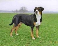 Leuke cadeau-artikelen van de Grote Zwitserse Sennenhond vindt u bij BS Sennenhonden